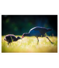 Pukeko Parent and Chick: Card
