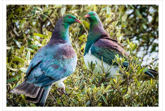 Kereru Couple: Card