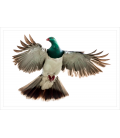 Kereru, Caught in Flight: Card