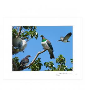 Kereru Group, Puriri Treetop: 6x8 Matted Print