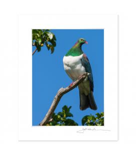 Kereru in Puriri Tree: 6x8 Matted Print