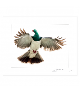 Kereru, Caught in Flight: 6x8 Matted Print