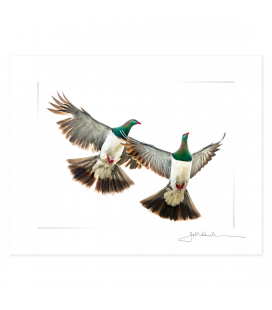 Kereru Couple in Flight: 6x8 Matted Print