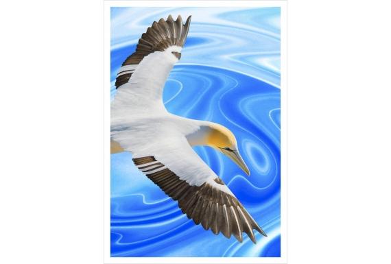 Soaring Gannet: Card