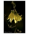 Kowhai Flowers: Card