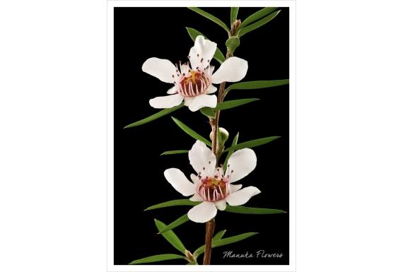 Manuka Flowers: Card