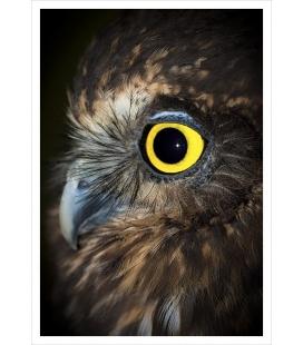 Ruru (Morepork), NZ Native Owl: Card