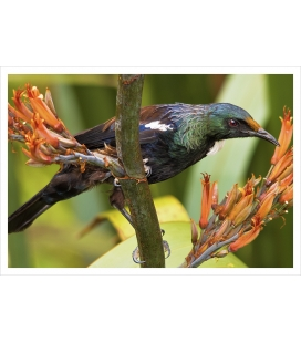 Young Tui feeding on Flax (Harakeke): Card
