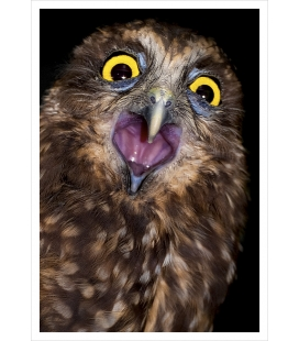 Screeching Ruru (Morepork): Card