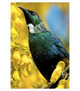 Tui in Kowhai Tree: Card