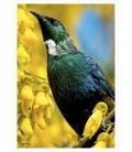 Tui in Kowhai Tree: Card