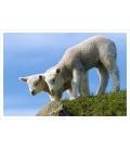 Curious Lambs: Card