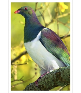 Kereru (NZ Wood Pigeon) in Kowhai: Card