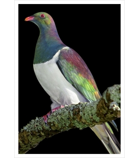 Kereru on Kowhai branch: Card