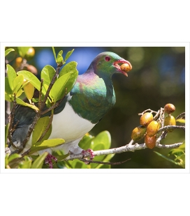 Kereru in Karaka tree with berry: Card