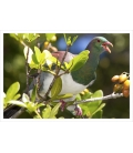Kereru swallowing Karaka berry: Card