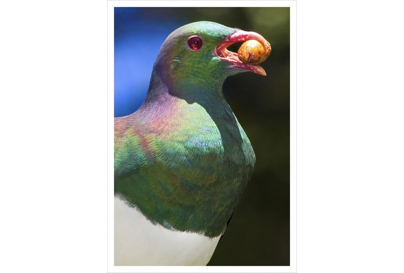 Kereru and Karaka berry: Card