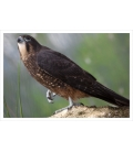 Karearea, endangered native New Zealand Falcon: Card
