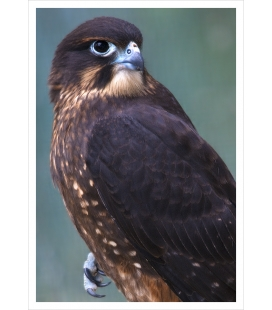 New Zealand native Falcon, Karearea: Card