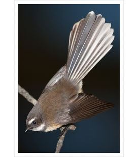 Piwakawaka, the Fantail: Card