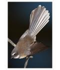 Piwakawaka, the Fantail: Card