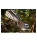 The NZ Fantail, Piwakawaka: Card