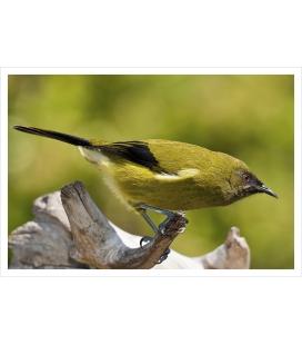 Bellbird (Korimako, Makomako): Card