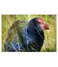 The Takahe: Card