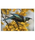 Tui and Spring Kowhai: Card