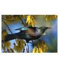 Tui in Kowhai, Dappled Light: Card