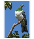 Kereru in Puriri Tree: Card