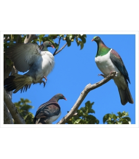 Kereru Group, Puriri Treetop: Card