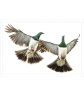 Kereru Couple in Flight: Card