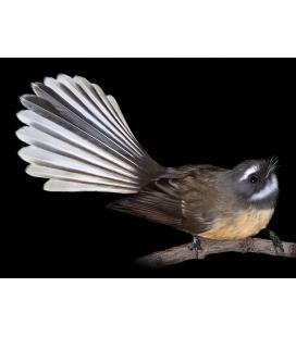 Fantail, Piwakawaka