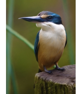 Kotare, the NZ Kingfisher
