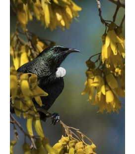 Tui in Kowhai, Point Wells.