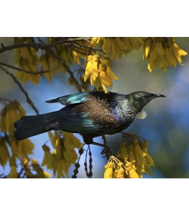 Tui in Kowhai, Dappled Light.