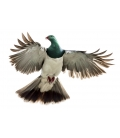Kereru, Caught in Flight