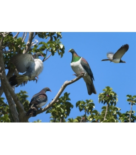 Kereru Group, Puriri Treetop