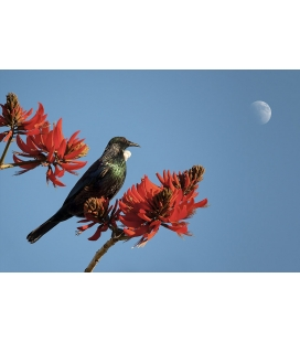 Tui in Flame Tree with Moon