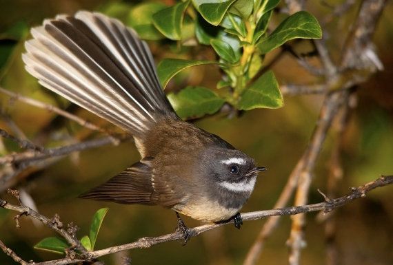 The NZ Fantail, Piwakawaka