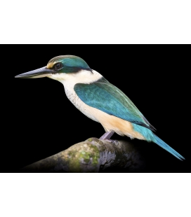 The Sacred Kingfisher, Kotare