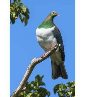 Kereru in Puriri Tree