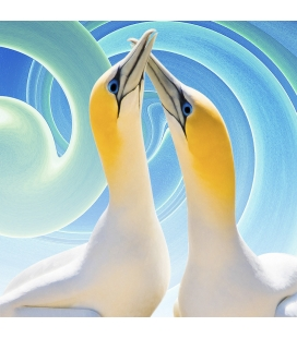 Gannet Couple