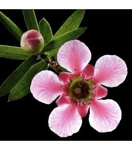 Pink Manuka