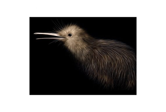 Little Brown Kiwi