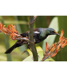 Young Tui feeding on Flax