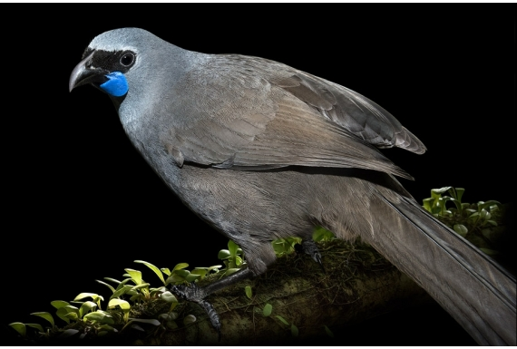 Kokako, Grey Ghost of the Forest