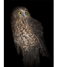 Morepork on Ponga Stump