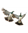 Kereru Couple in Flight